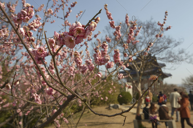 Spring plum blossoms at Mingxiaoling, the tomb of Hongwu, the first Ming dynasty emperor, Nanjing, Jiansgu province, China