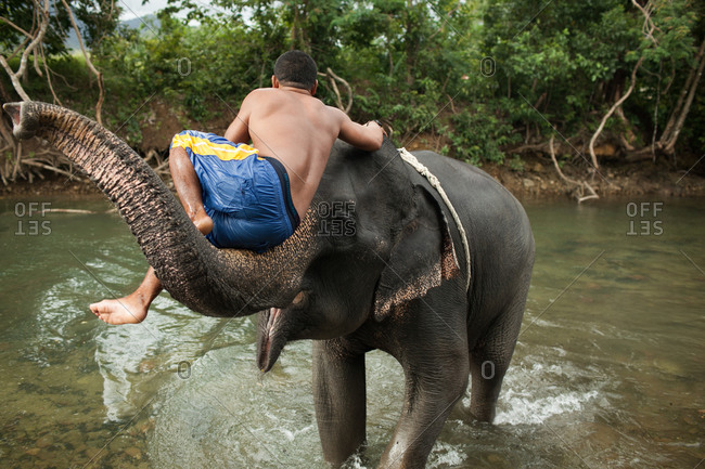 Mahout sitting on the trunk of an Asian elephant