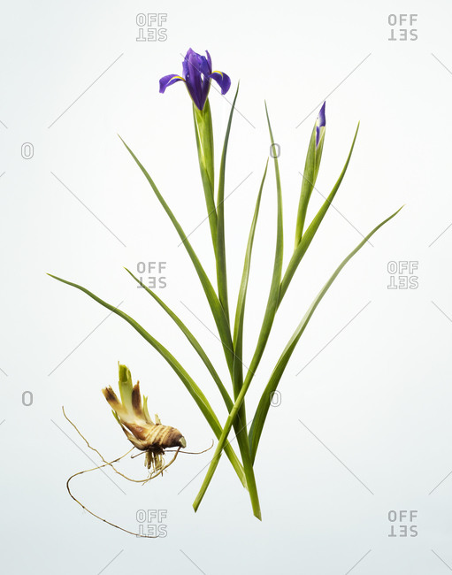 Iris flower with bulb on white background