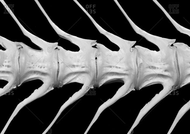 Close up of skeleton of fish