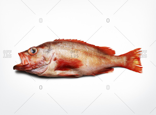 One red snapper on white background