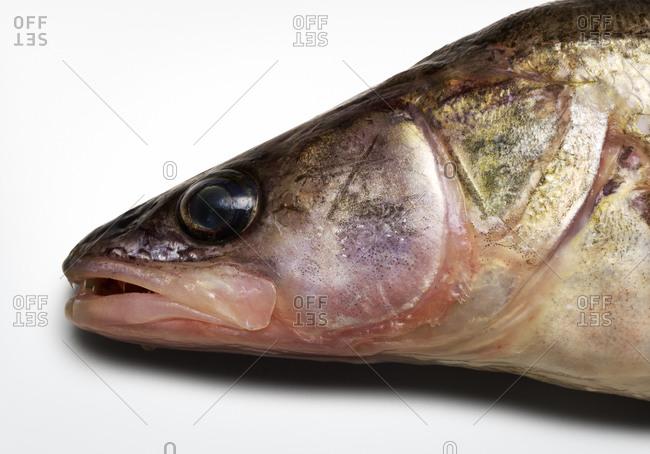 Close up of zander fish