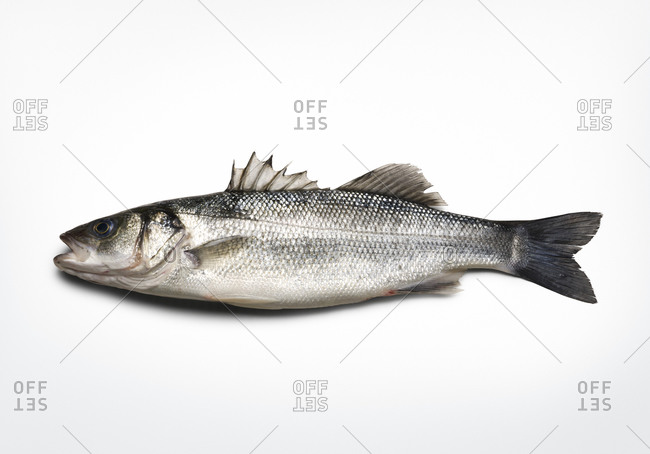 Side view of black sea bass