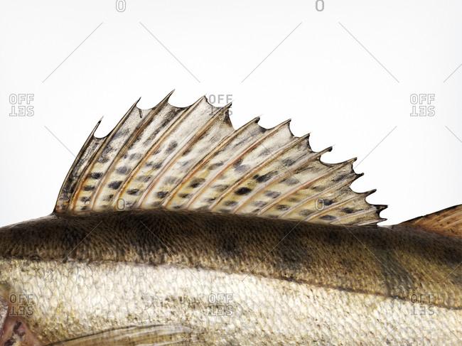 Dorsal fin of zander fish