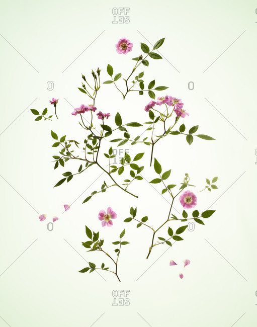 Overhead view of wild roses