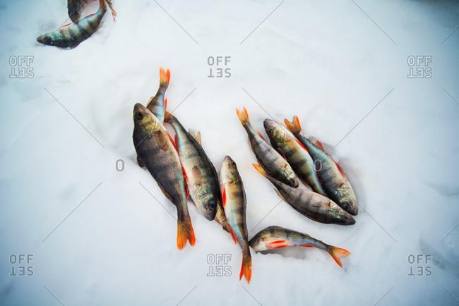 Dead fish in the snow
