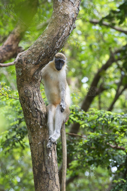 Green monkey lounging in a tree in Barbados Wildlife Reserve, Barbados