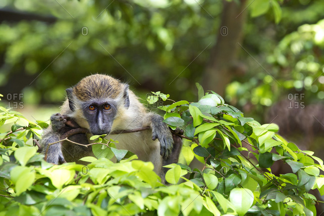 Green monkey in Barbados Wildlife Reserve, Barbados
