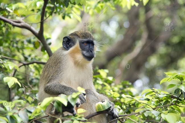 Green monkey in Barbados Wildlife Reserve, Barbados