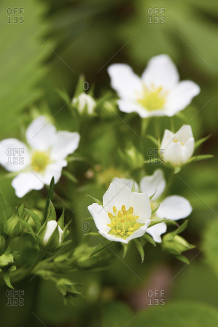 Close up of strawberry flowers