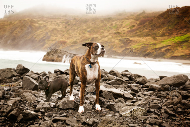 Two dogs standing on rocky coastline