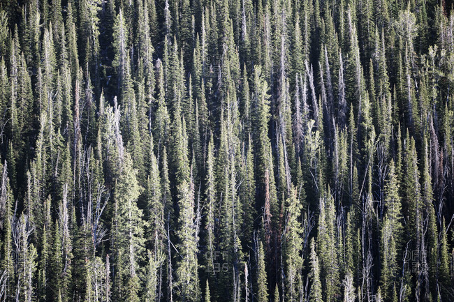 Aerial view of evergreen forest