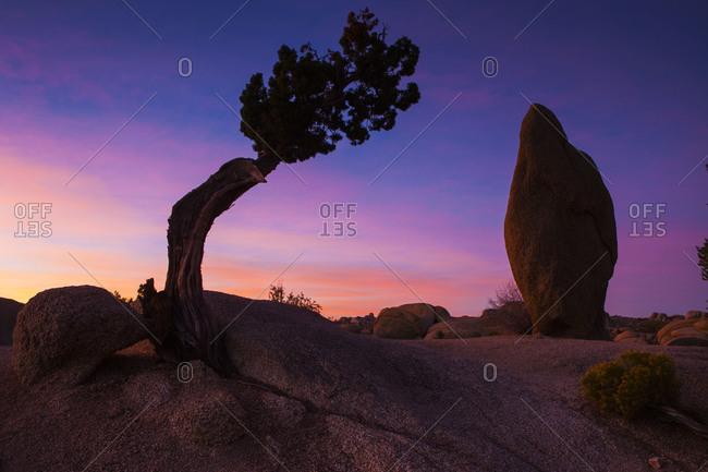 Bent tree and a rock at sunset