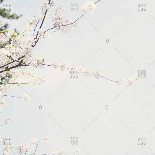 Branches of cherry blossom flowers