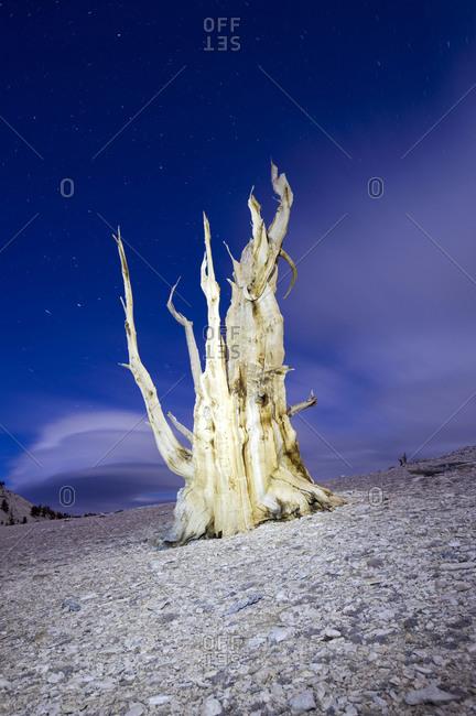 Bristlecone pine tree illuminated at night in the White Mountains near Big Pine, California