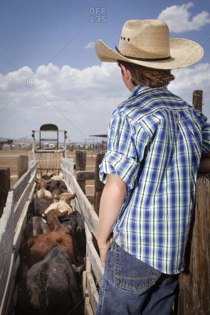 Young cowboy watching over cattle in the pen, Galisteo, New Mexico, USA
