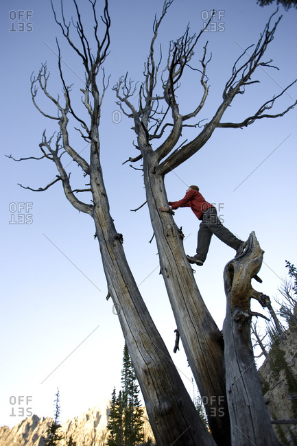 Person climbing an old dead tree