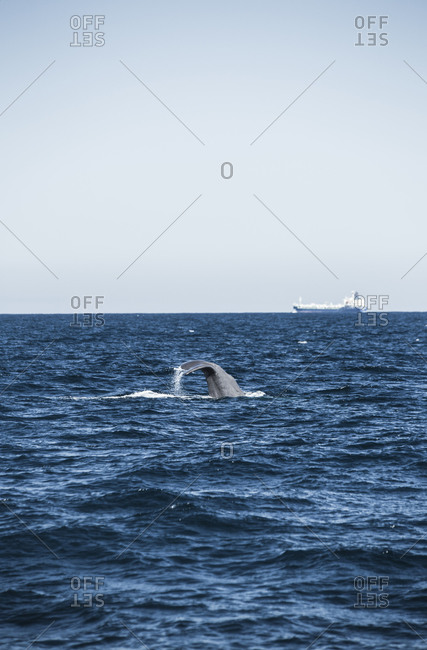 Sperm whale, Physeter macrocephalus, Cargo ship in the background