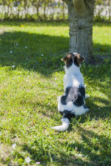 Jack Russel Terrier puppy in garden