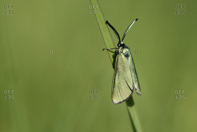 Green Forester, Adscita statices, hanging on blade of grass