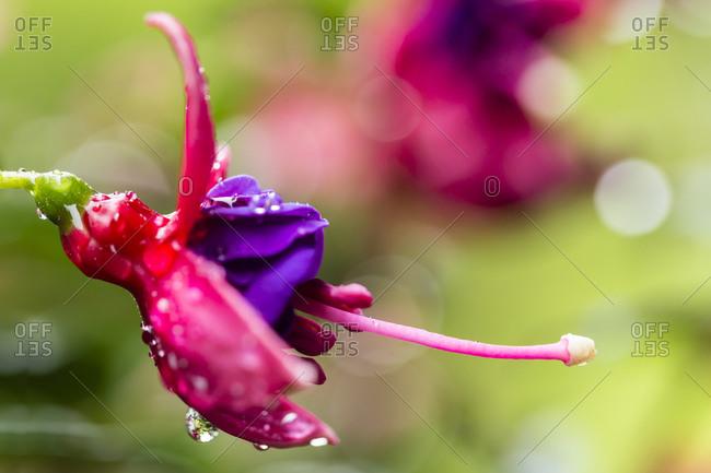 Fuldabruck, Fuchsia, close up