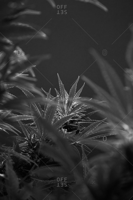 Cannabis strains on black background