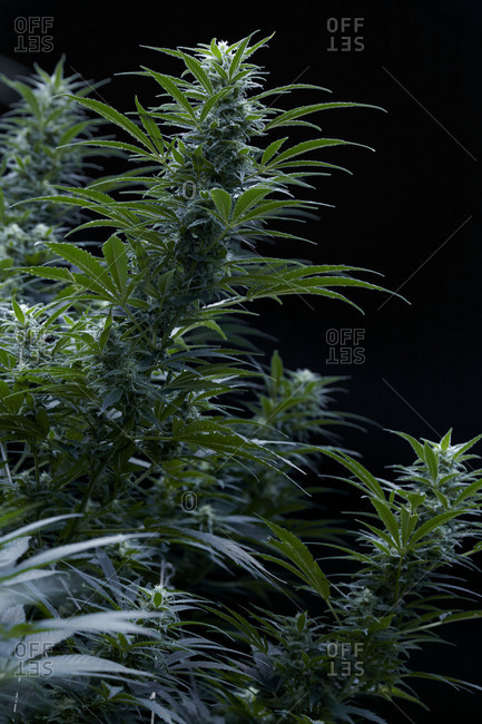 Close up of growing marijuana