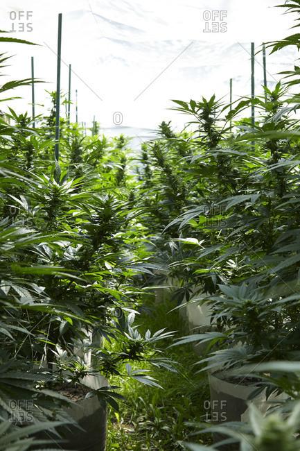 Marijuana crops in a grow house