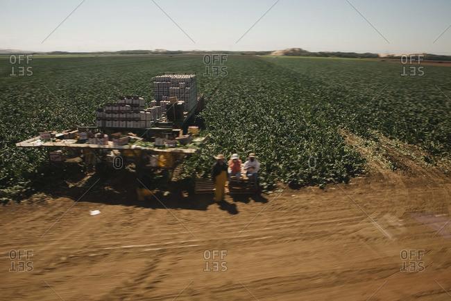 People harvesting crop in California