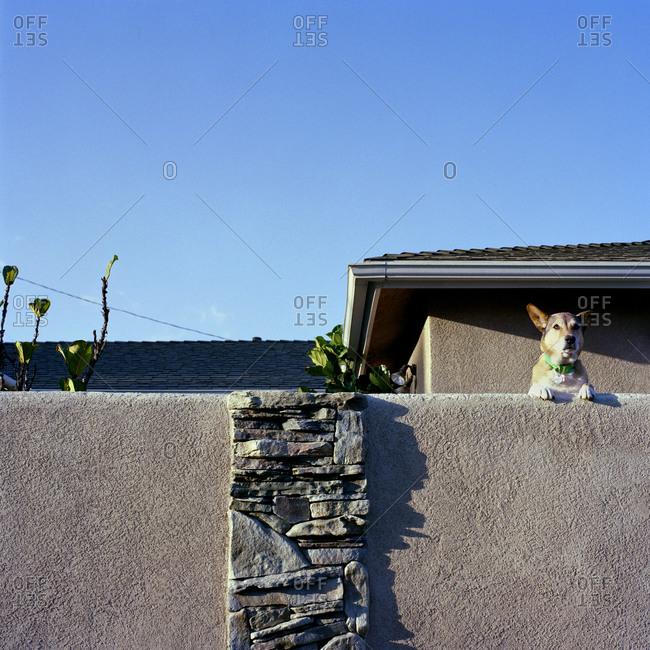 Dog peering over suburban fence
