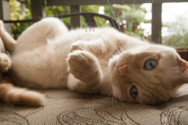 Furry cat lying on its back