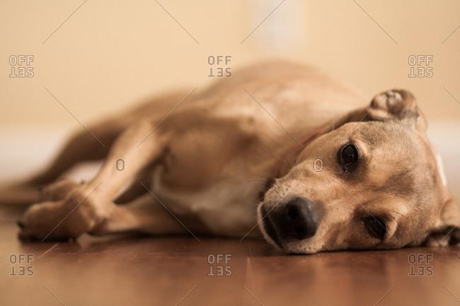 Portrait of a dog lying on a floor