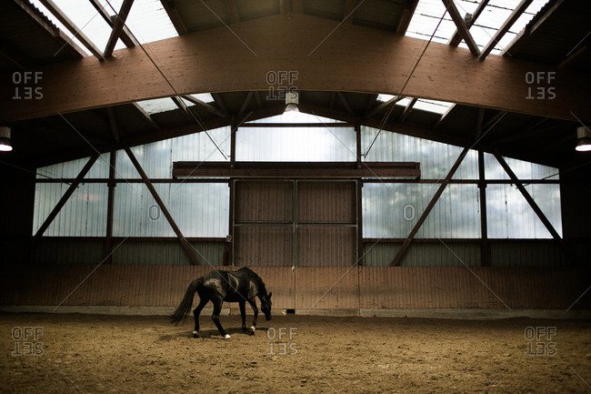 Black horse in a riding hall