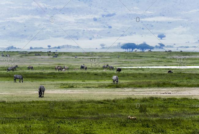 A Golden Jackal moves between Zebra grazing on the savannah.