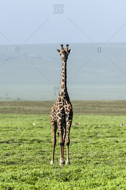 An exposed and solitary Giraffe surveying the empty short grass savannah plains.