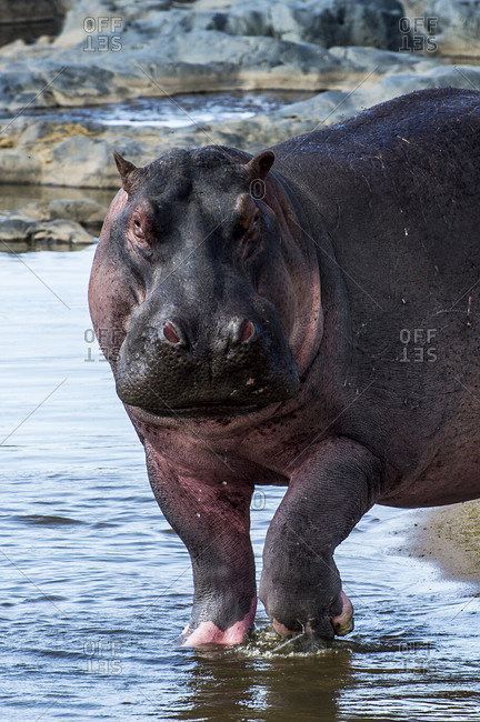 A territorial Nile Hippopotamus wading through the shallows of a waterhole during the afternoon heat of the day.