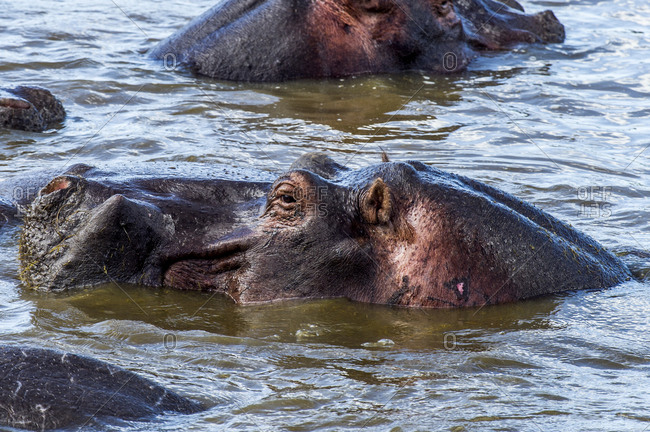 A Nile Hippopotamus surfaces in a waterhole during the heat of the day when tempers start to flare.