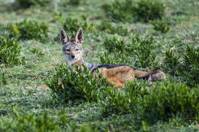 An alert Black-backed Jackal resting after feeding on a Blue Wildebeest carcass.