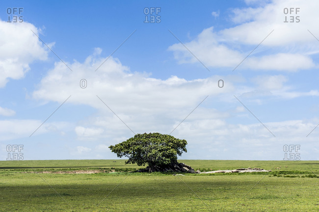 A Rock Fig provides shelter for wildlife on a granite outcrop known as a kopje on the savannah plain.