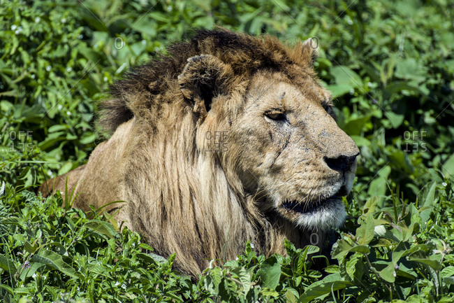 A male African Lion surveys the savannah from a comfortable position resting in some shrubs.