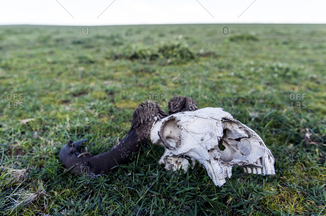 A Blue Wildebeest skull bleached white on the short grass savannah plain with Horn Moth larval cases on the horns.