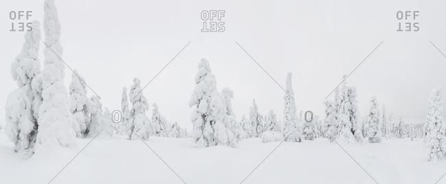 Snow-covered trees in Riisitunturi National Park, Lapland, Finland