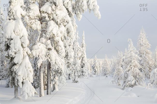 Forest in Riisitunturi National Park, Lapland, Finland