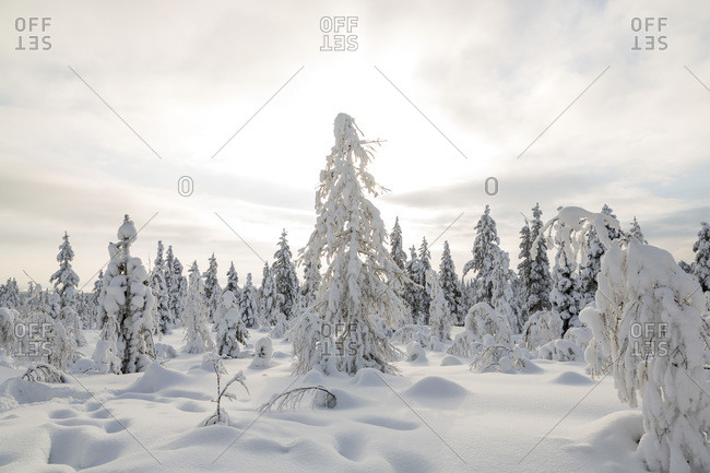Overcast sky above trees in Riisitunturi National Park, Lapland
