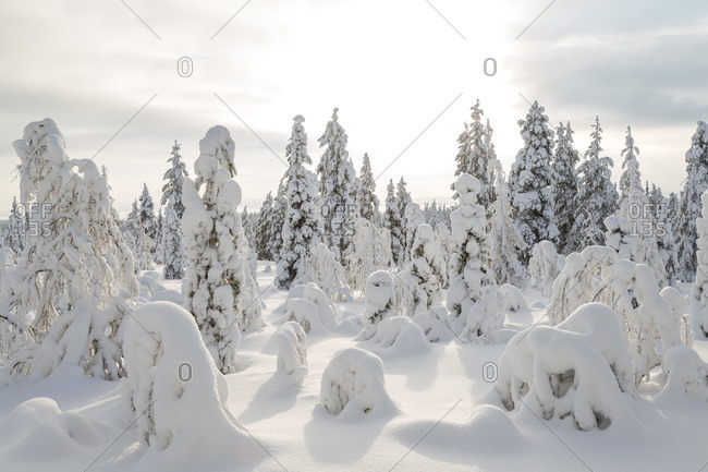 Snow-covered trees in Riisitunturi National Park, Lapland