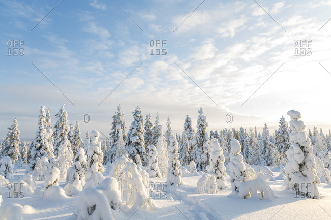 Snow-covered forest in Riisitunturi National Park, Lapland, Finland