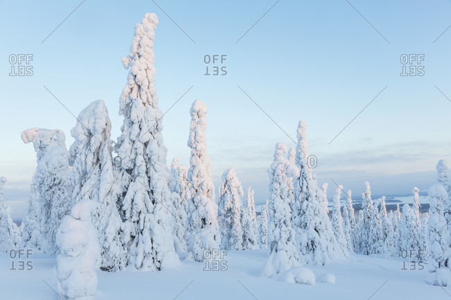Snowy trees of a forest in Riisitunturi National Park, Lapland, Finland