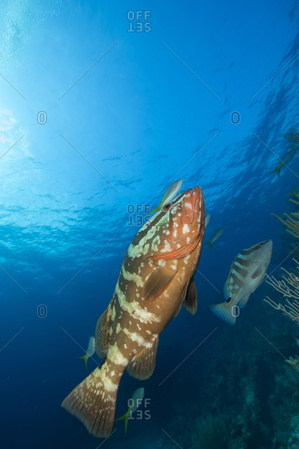 A pair of Nassau grouper (Epinephelus striatus) swimming towards the surface.