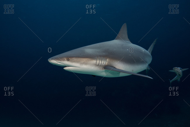 A remora tags along behind a Caribbean reef shark.