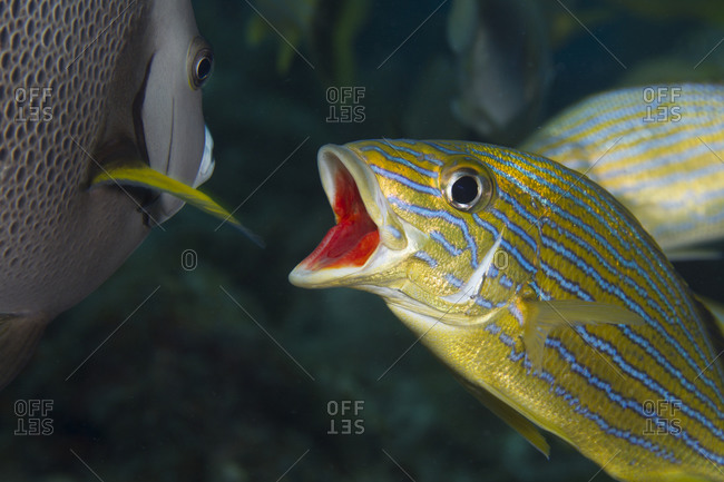 A bluestriped grunts opens his mouth as an invitation to the Gray angelfish.